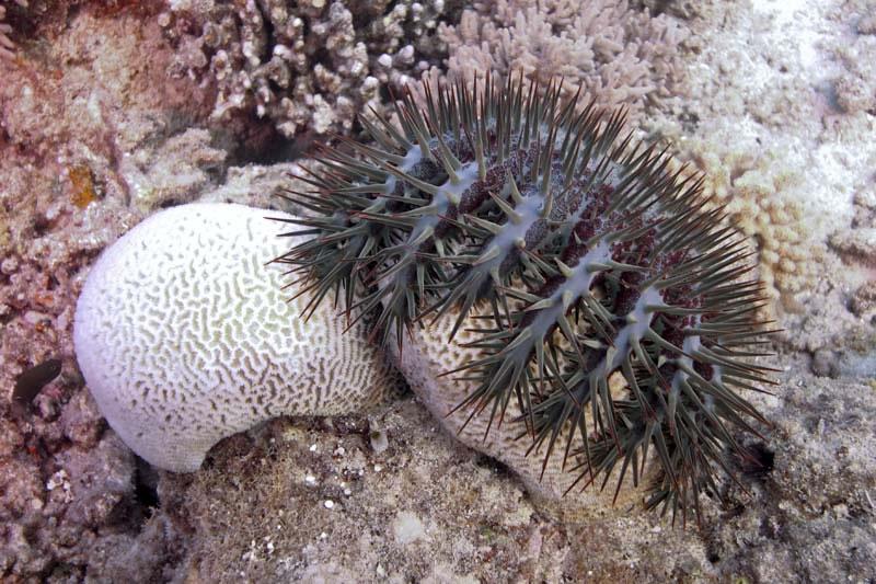 Crown of Thorns Seastar eating Platygyra coral.