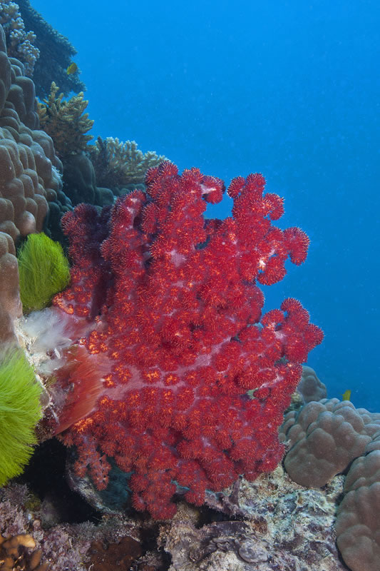 Dendronephthya soft coral (