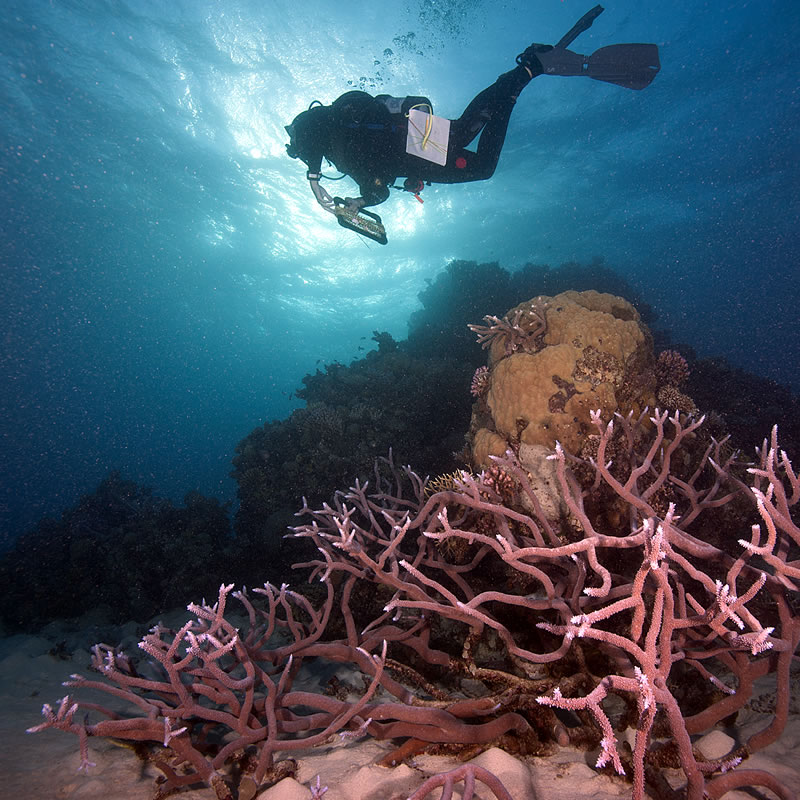 Diver (Anderson Mayfield) swims over Staghorn (Acropora) coral.