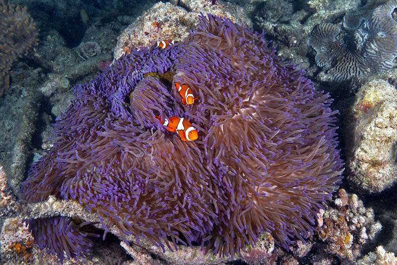 False Clown Anemonefish (Amphiprion ocellaris) in their host Magnificent Sea Anemone (Heteractis magnifica).