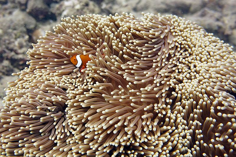 False Clownfish (Amphiprion ocellaris) in its host Magnificent Anemone