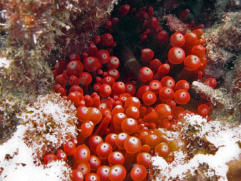 Female Spinecheek Anemonefish (Premnas biaculeatus) in host Bulb-tip Anemone (Entacmaea quadricolor).