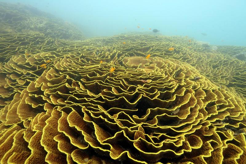 Field of Turbinaria coral