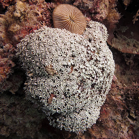 Flowery polyps of the alcyoniarian soft coral Tubipora musica.