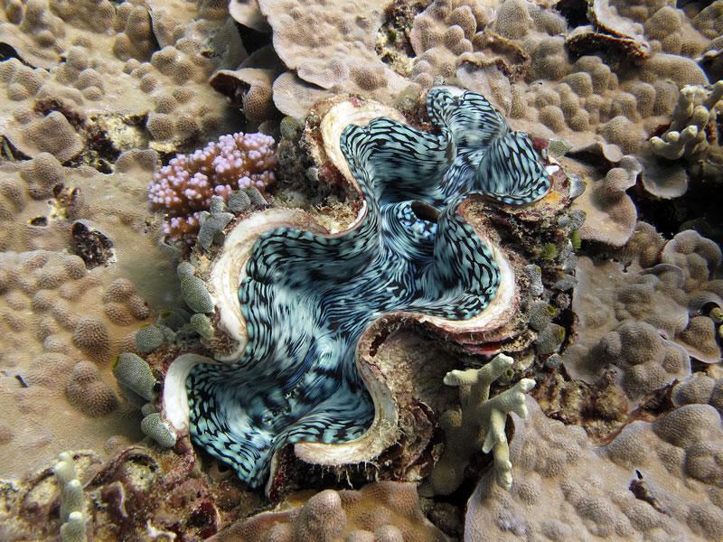 Fluted Giant Clam (Tridacna squamosa) nestled among corals.
