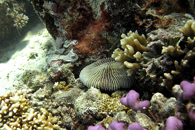 Fungia and Pectinia and a variety of other coral genera.
