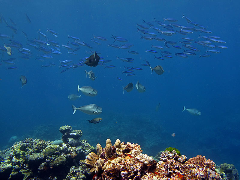 Fusiliers and unicornfish in the open water over the reef.