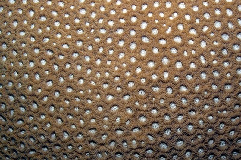 Geometric pattern of Favia coral polyps.