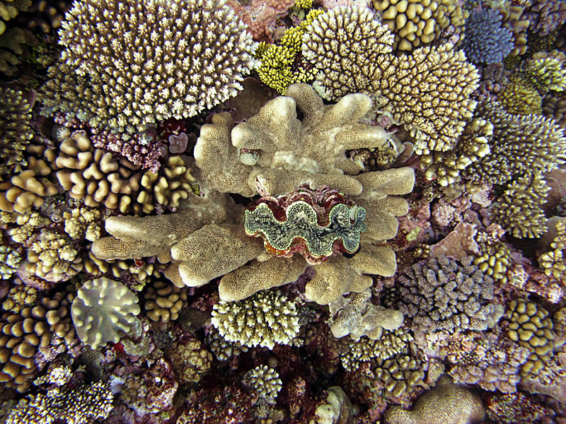 Giant clam framed by a dense cover of live corals.