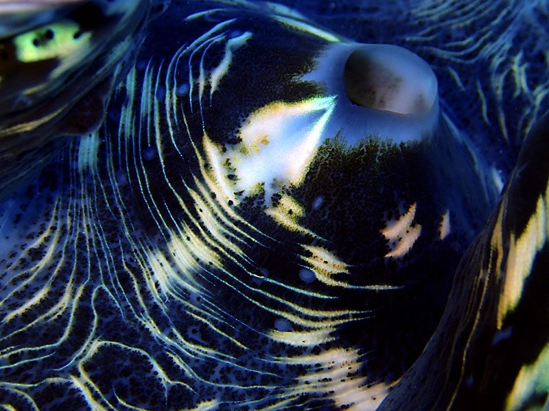 Abstract of giant clam mantle.