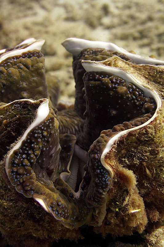 Giant clam profile showing the many thousands of tiny