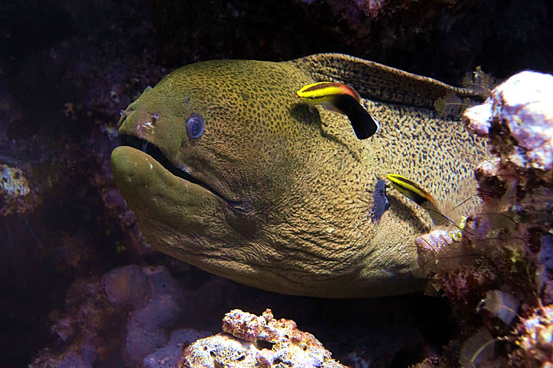 Giant Moray (Gymnothorax javanicus) being cleaned by Blackspot Cleaner Wrasse (Labroides pectoralis).