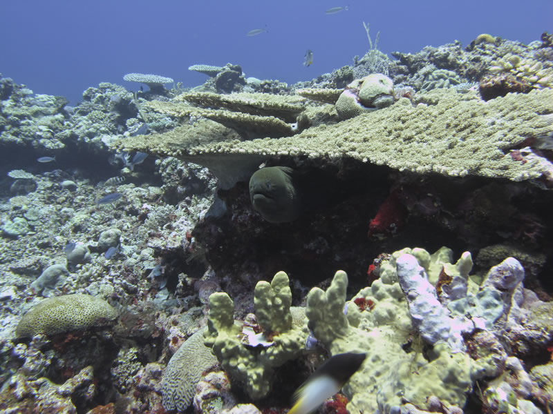 Giant Moray (Gymnothorax javanicus) peeks out from under a tabletop Acropora coral.