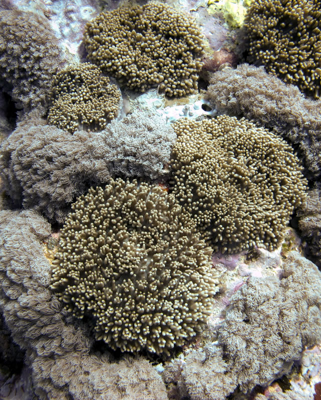 Goniopora coral.