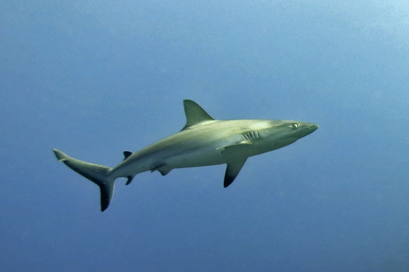 Gray Reef Shark (Carcharhinus amblyrhynchos) making a close pass to investigate the divers.