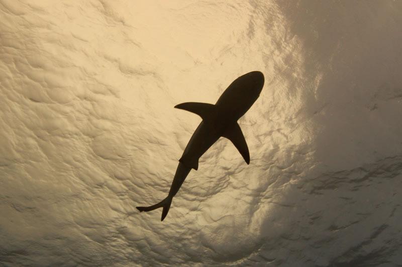 Gray Reef Shark (Carcharhinus amblyrhynchos) in silhouette.