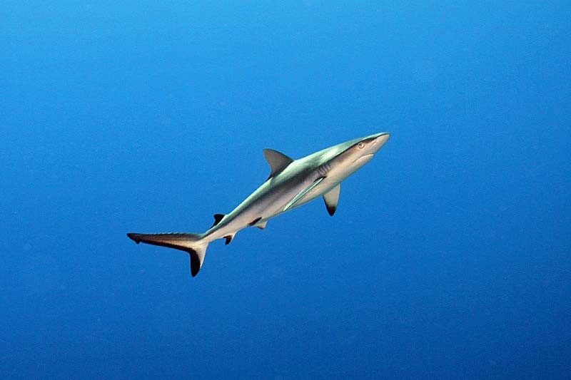Gray Reef Shark (Carcharhinus amblyrhynchos) in open water.