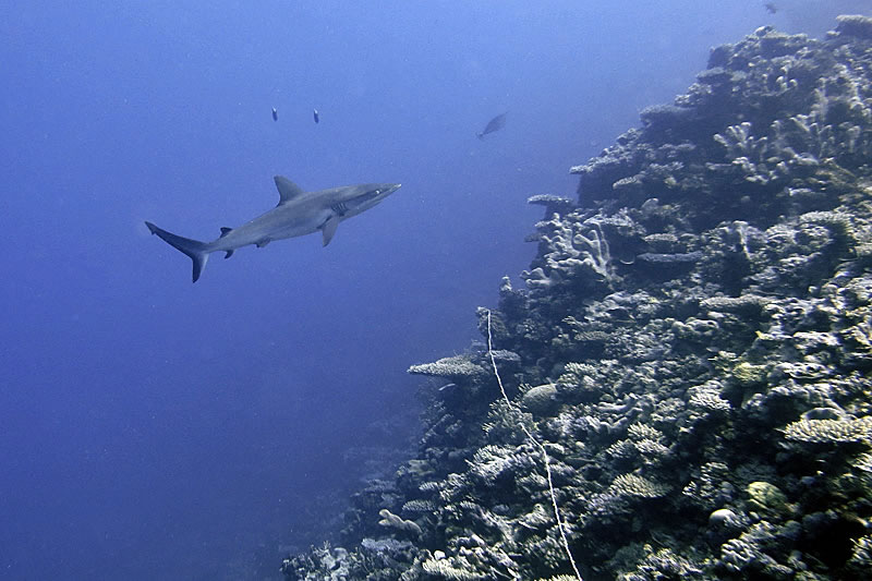 Gray Reef Shark (Carcharhinus amblyrhynchos) eyeing the benthic transect line along the sloping reef.