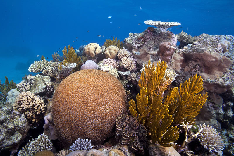 Reef scene with large brain coral (Platygyra sp.) and smaller Acorpora and Pocillopora corals (Tridacna clam in foreground).