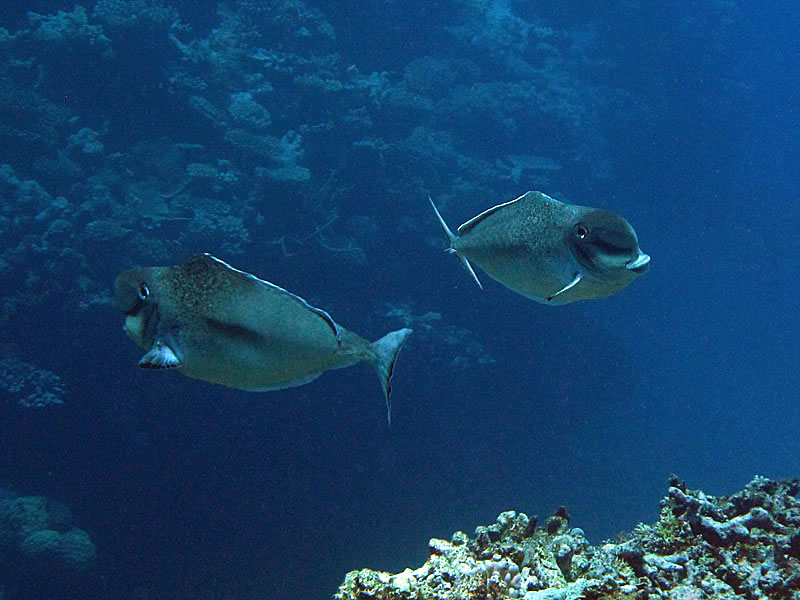 Humpnose Unicornfish (Naso tonganus)