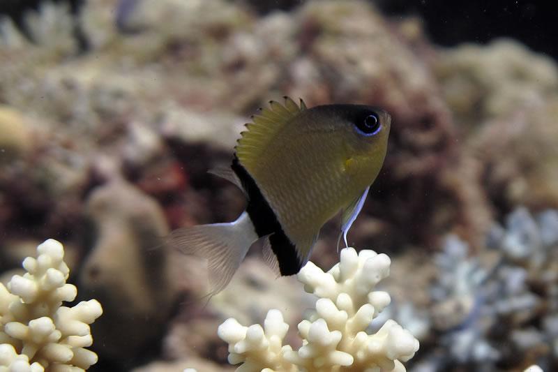 Juvenile Blackbar Damselfish (Plectroglyphidodon dickii) in acroporid coral.