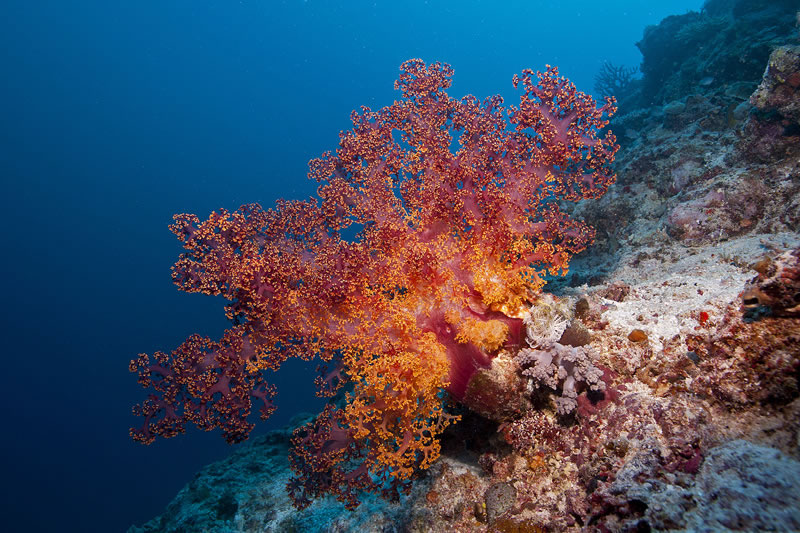 Large Dendronephthya soft coral pumped full of water to extend polyps allowing it to feed in the current.