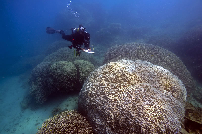 Large mounds of Porites lobata and round thickets of Porites cylindrica in the shallows at one of our survey sites.