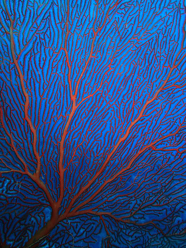 Large red seafan deep on the reef