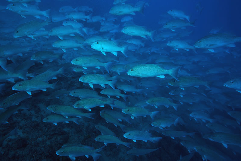 Large school of Chinamanfish (Symphorus nematophorus) that came to check us out during our dive.