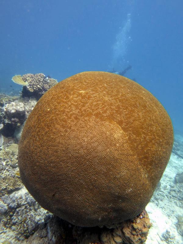Large spherical Platygyra coral.