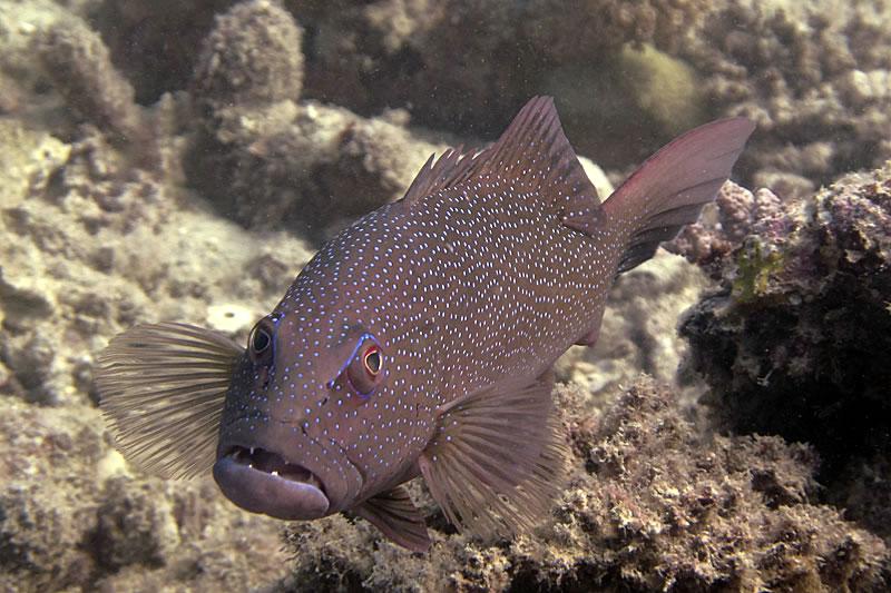 Leopard Coral Grouper (Plectropomus leopardus).
