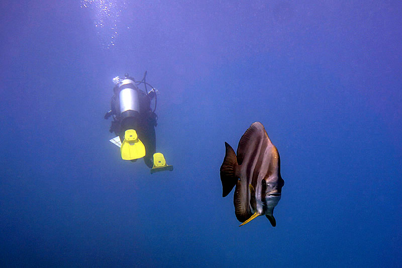Longfin Spadefish (Platax teira) swimming in the opposite direction as a coral reef surveyor.