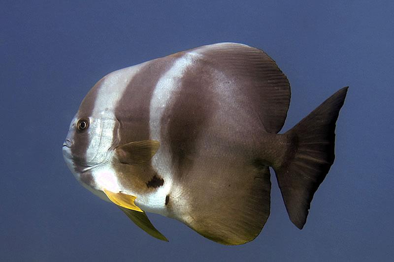 Longfin Spadefish (Platax teira)