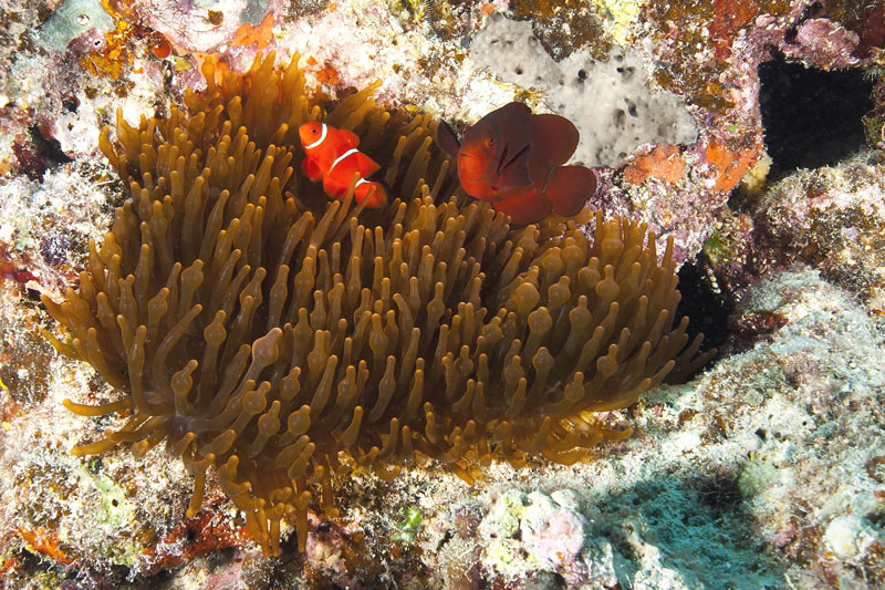 Male (smaller & bright red) and female (larger & more dusky red) Spinecheek Anemonefish (Premnas biaculeatus) in their Bulb Tentacle Sea Anemone (Enacmaea quadricolor) host.