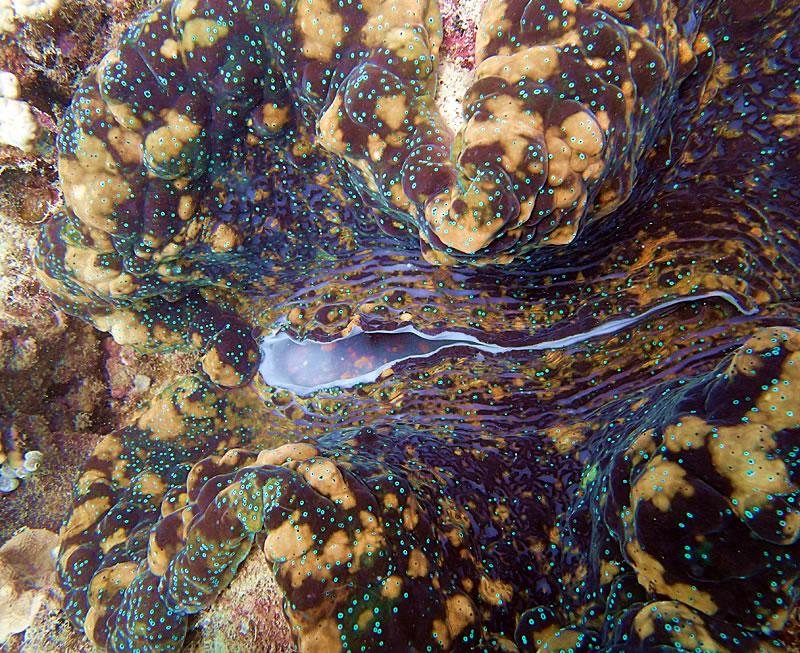 Monster giant clam.