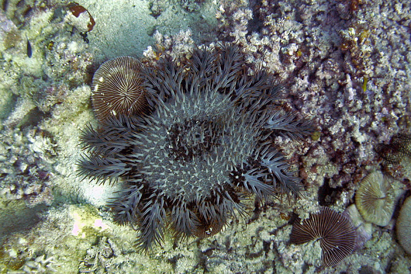 Mushroom coral are mobile but cannot outrun a Crown-of-thorns Seastar.