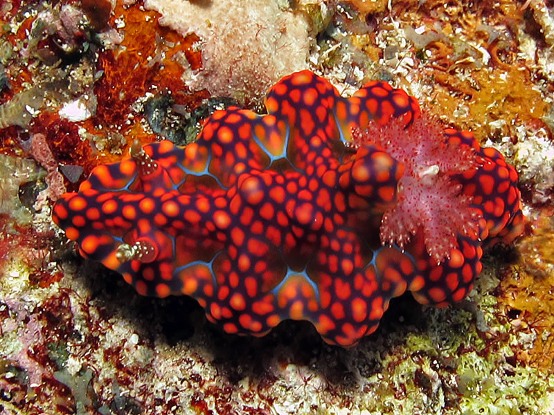 Colorful and brightly marked Netted Ceratosoma (Ceratosoma sinuatum) nudibranch.