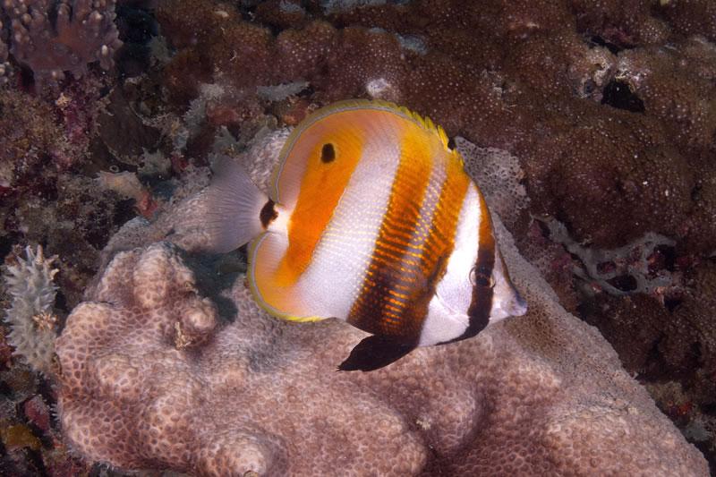 Orange-banded Coralfish (Coradion chrysozonus)