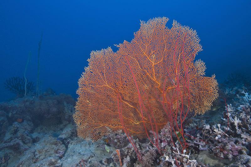 Orange sea fan (Subergorgia sp.) and red sea whips.