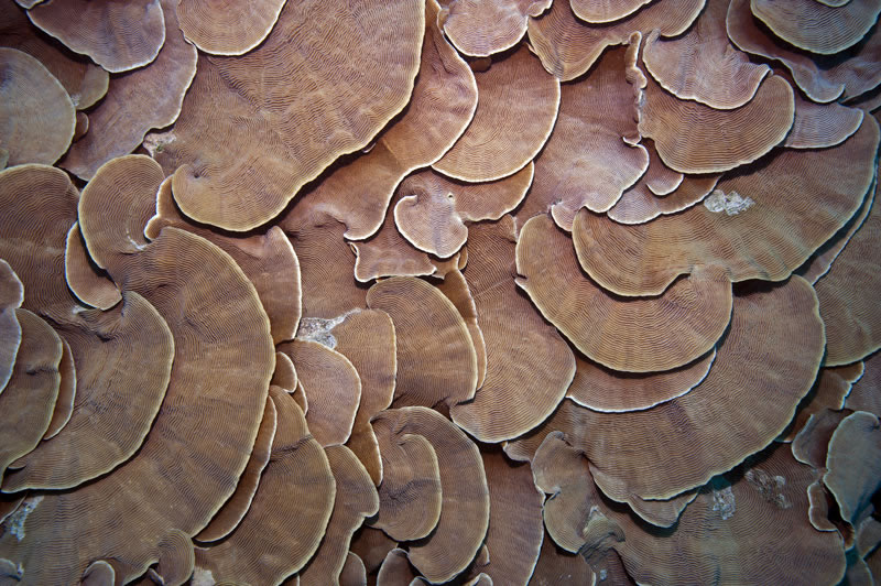 Overlapping shingles of Pachyseris coral.