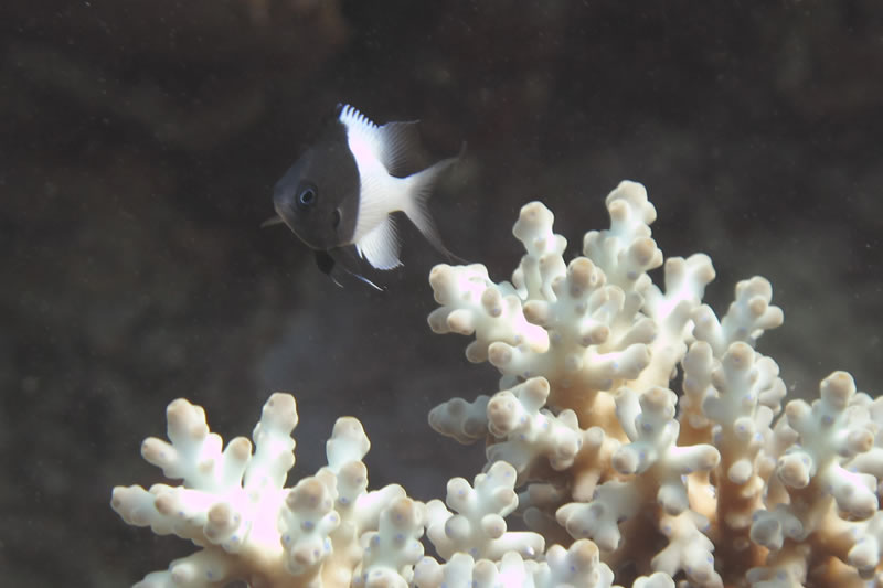 Pacific Half-and-half Chromis (Chromis iomelas) in acroporid coral.