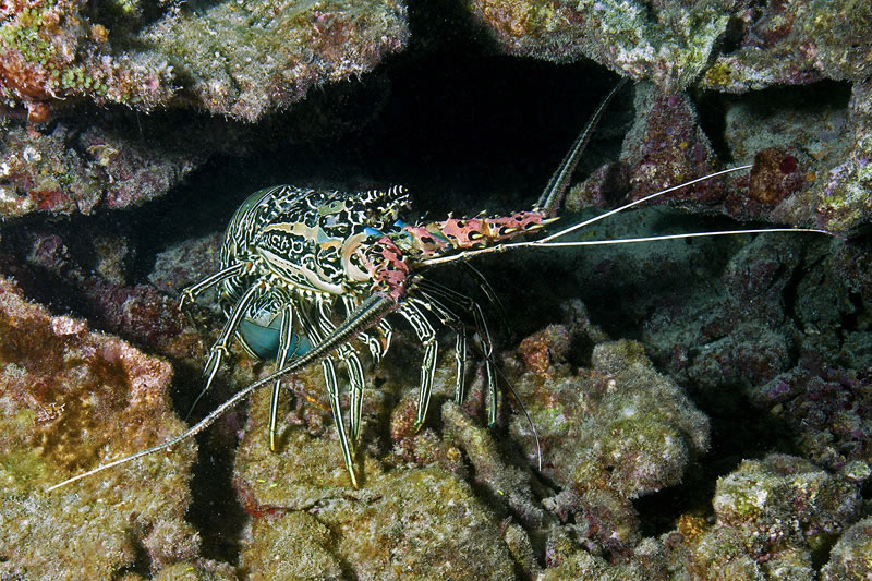 Painted Crayfish (Panulirus versicolor) looks out from its hiding spot.