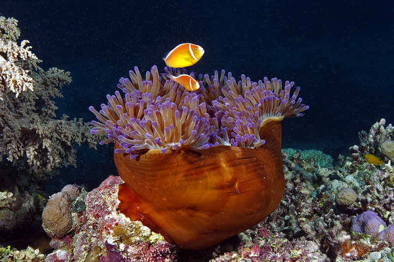 Pink Anemonefish (Amphiprion perideraion) in Magnificent Anemone--how it looks to the camera.