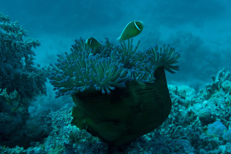 Pink Anemonefish (Amphiprion perideraion) in Magnificent Anemone--how it looks to the naked eye underwater.