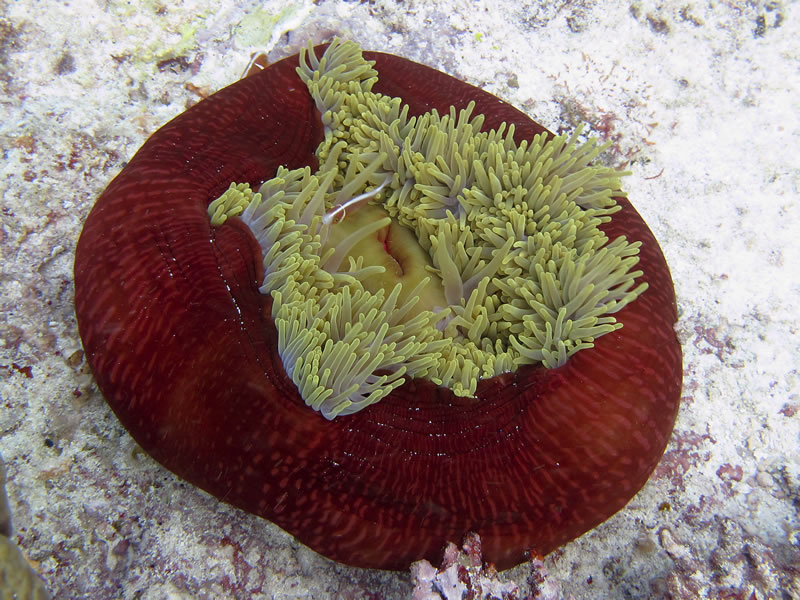 Pink Anemonefish (Amphiprion perideraion) on a closed-up Magnificent Anemone (Heteractis magnifica).