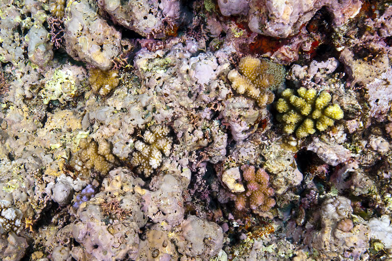 Pink crustose coralline algae (CCA) provides excellent substrate for coral recruits.