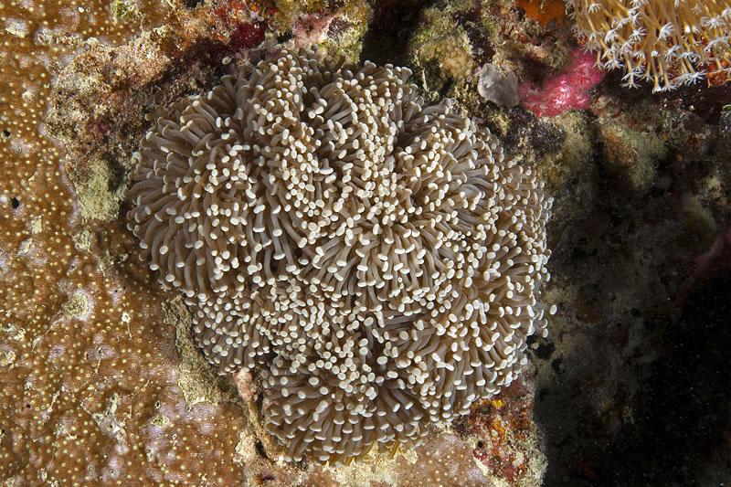 Pom-pom coral (Euphyllia glabrescens).