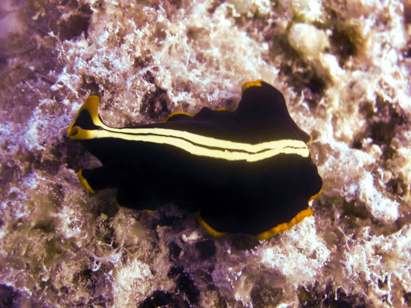 Pseudoceros dimidiatus, a highly variable and beautiful flatworm.