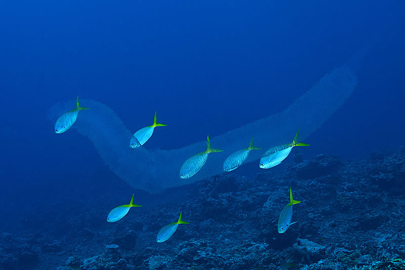 A pyrosome (free-floating mass of colonial tunicates) along with Blue and Yellow Fusiliers (Caesio teres)