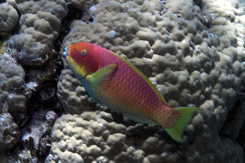 Red variation of Steephead Parrotfish (Chlorurus microrhinos).